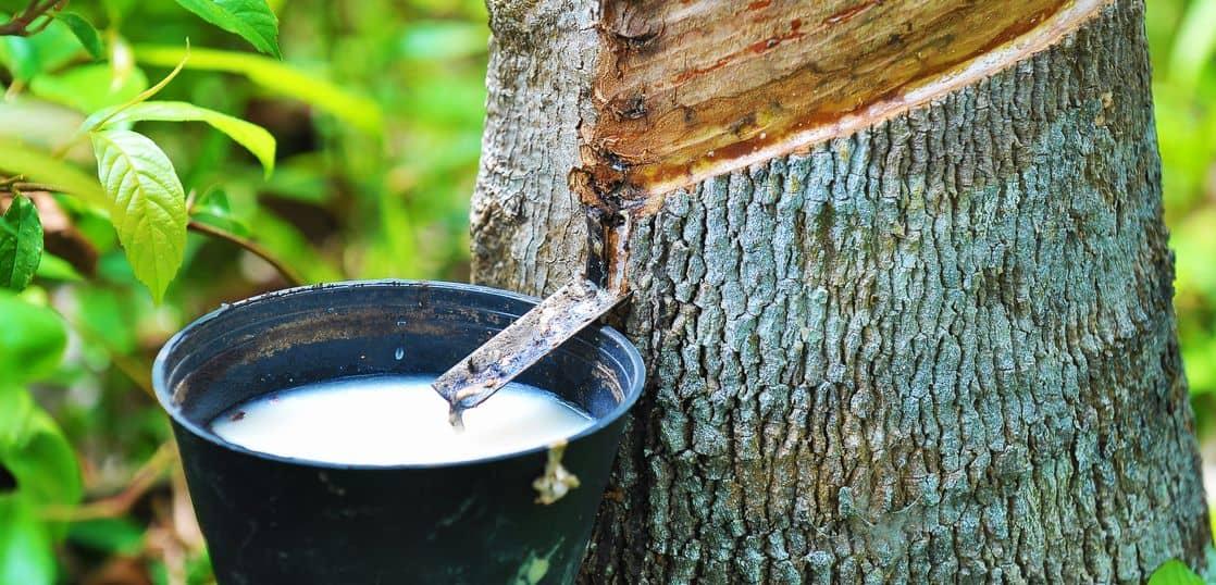 ゴムの木から採取中のラテックス