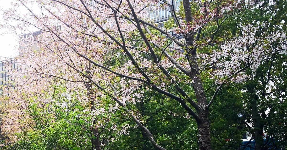 赤坂インターシティの桜