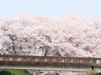橋と桜の木